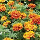 Orangene Nelken